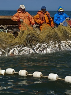 Глава Сахалинской области предложит по-старому распределять квоты на рыбу для КМНС