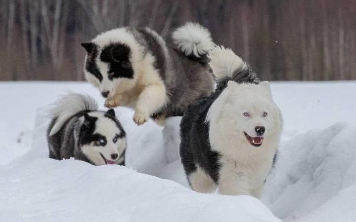 Якутских лаек внесли в международный список пород