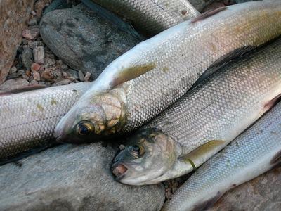На Байкале отменили приказ Росрыболовства о проверке выловленной коренными народами рыбы