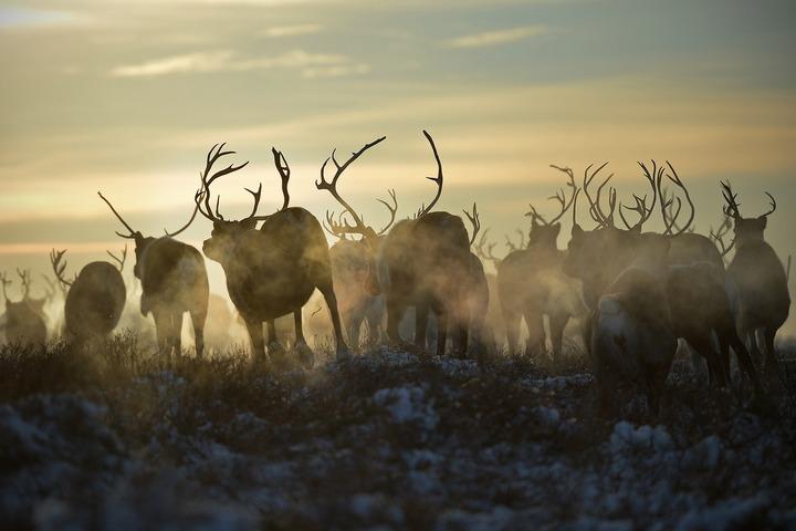 Всех оленей на Ямале привьют от сибирской язвы
