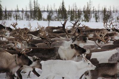 Международные соревнования оленеводов Arctic Skills открылись в Якутии