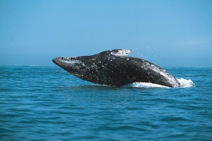 Серым китам дадут имена на языках нанайцев, нивхов, уильта и эвенков