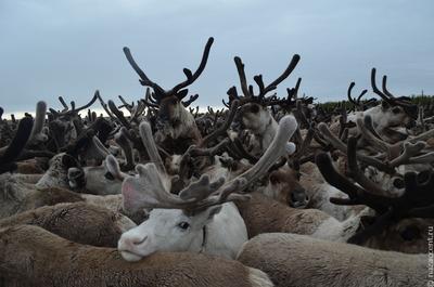 Ямальские оленеводы будут следить за дикими оленями через спутник