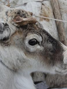 Полицейских в северных и южных регионах пересадят на оленей и ослов