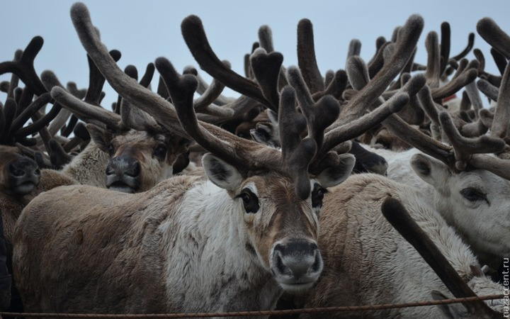 Пострадавшим от сибирской язвы оленеводам выдадут только по 110 оленей