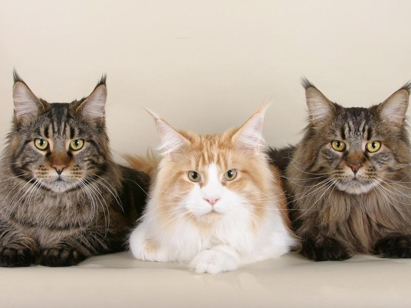 10 фраз о котах на коми-пермяцком языке