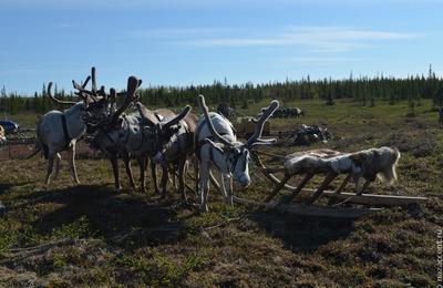 На Алтае обнаружили следы редких северных оленей