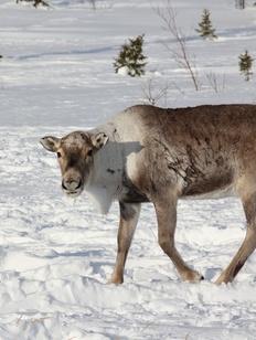 Суд разрешил коренным народам Севера передавать квоты на отстрел оленей своим охотникам