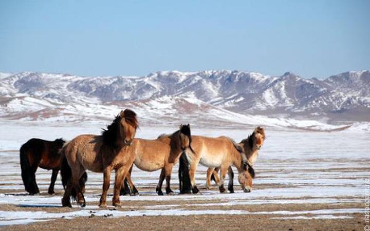 Турнир по скачкам на лошадях бурятской породы прошел в Бурятии