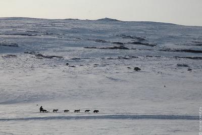 """Традиционная гонка на собачьих упряжках """"Берингия"""" финишировала на Камчатке"""