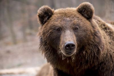 Власти Чукотки закупят оружие для защиты оленеводов от медведей