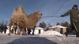 Прокуратура посчитала жертвоприношение верблюдов жестоким обращением с животными