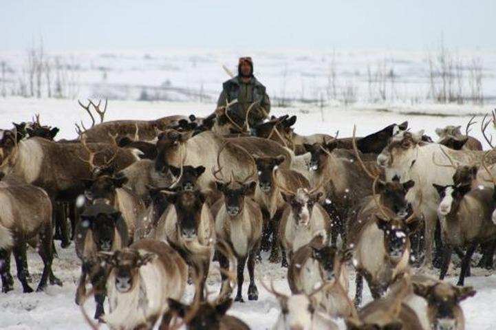В Ямало-Ненецком автономном округе в ДТП погиб погонщик оленей
