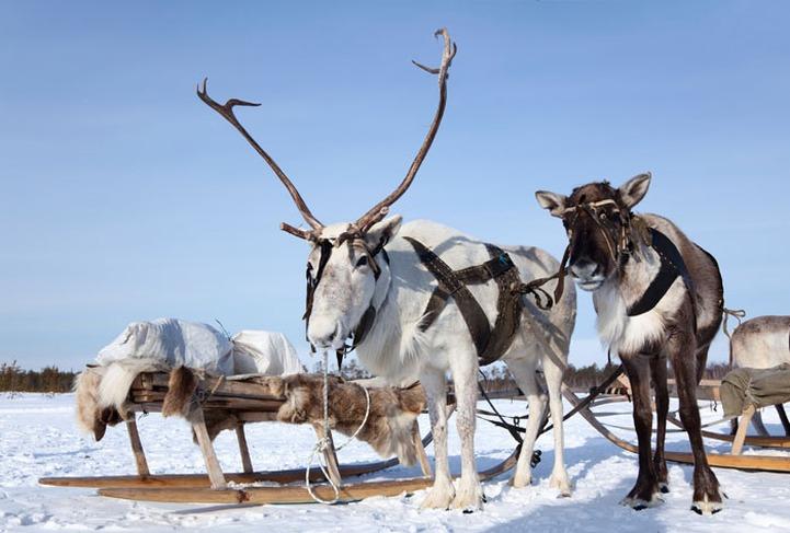 Жителей Тюмени прокатят на оленях