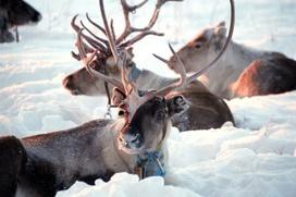 Ненецкие оленеводы помогут канадским ученым воспроизвести артефакты двухтысячелетней давности