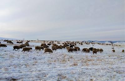 Овцеводческий стартап