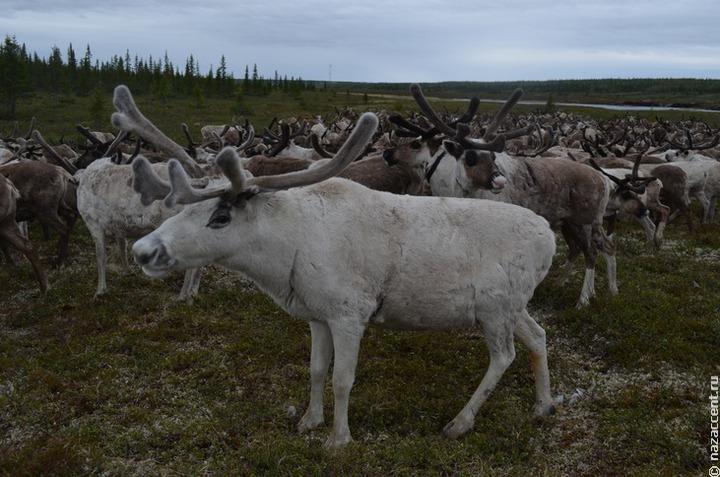 На Таймыре объявили режим ЧС из-за массовой гибели северных оленей
