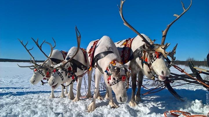 Оленеводы Красноярского края будут получать поддержку только после чипирования оленей