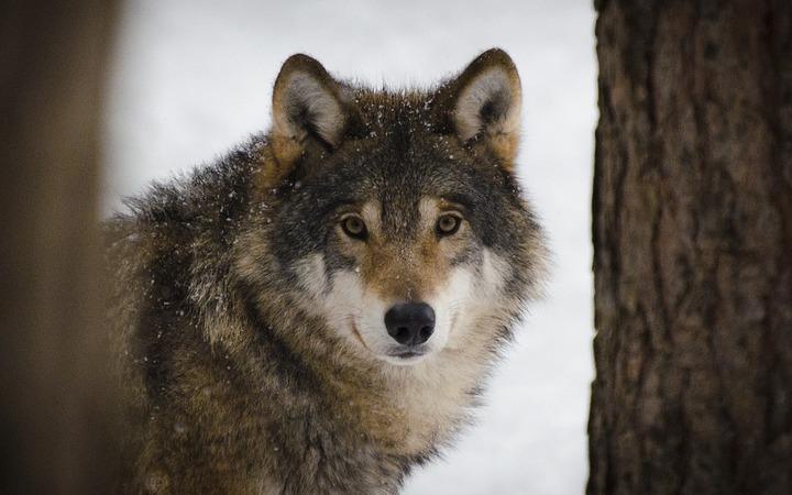 Эксперты: Эвенки воспринимали волков как часть своего мира