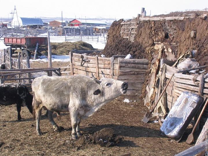 Ученые раскрыли секрет морозоустойчивости якутских коров