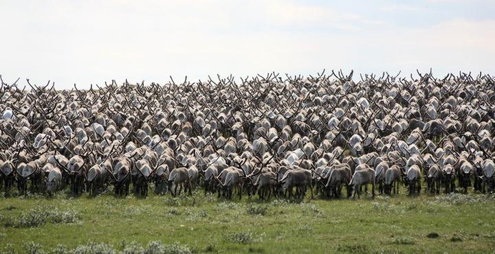 Замглавы Россельхознадзора: Численность оленей на Ямале надо регулировать