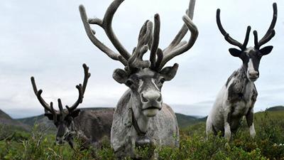 Ученый: численность диких северных оленей сократилась в 10 раз из-за браконьеров и оленеводов