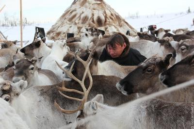 Якутские оленеводы пройдут обучение в Норвегии