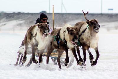 В Нарьян-Маре наградили самых быстрых оленеводов