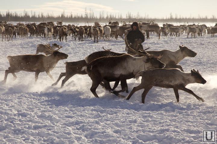 Власти НАО подарят кочевникам к профессиональному празднику оленей