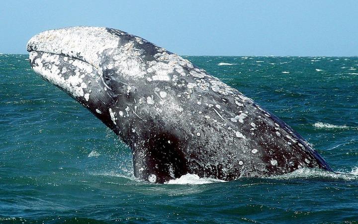 Общину коренных народов на Чукотке обвинили в ловле краснокнижных китов