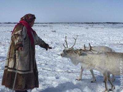 На Ямале началась кампания по заготовке оленины
