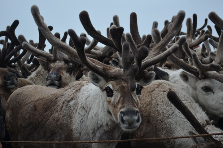 Северные олени в Республике Коми