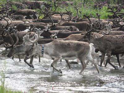 Для оленеводов Ямала построят дороги на участке газового месторождения