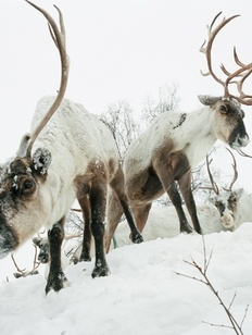 Чукотский оленевод лгал полицейским ради спасения ударившего его друга