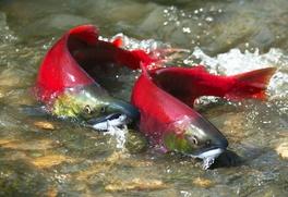 Регионы будут сами ограничивать вылов рыбы