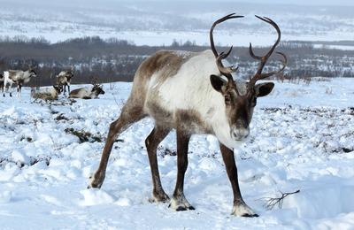 Спутниковые ошейники для оленей и лошадей начнут выпускать в Якутии