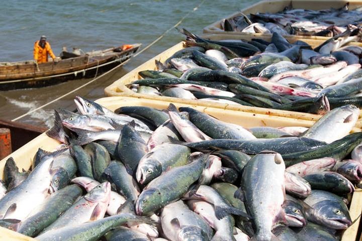 Глава Камчатки: Указ Минсельхоза может оставить малочисленные народы региона  без рыбы