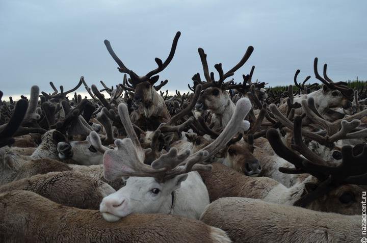Посетительница вотчины карельского Деда Мороза пожаловалась зоозащитникам на эксплуатацию оленей