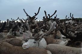 Ученые рассказали о влиянии глобального потепления на северных оленей