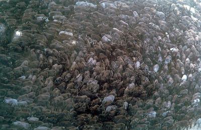 Всемирный конгресс оленеводов пройдет в Алтайском крае в 2018 году