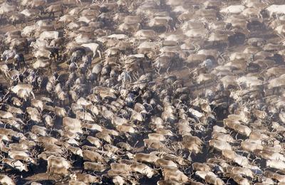 Ученые предложили сократить поголовье оленей на Ямале