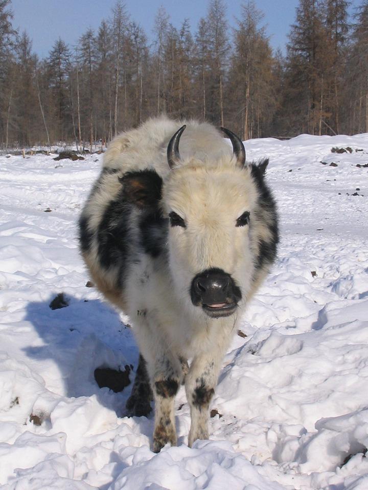 В Якутии создадут банк эмбрионов редкой аборигенной породы коров