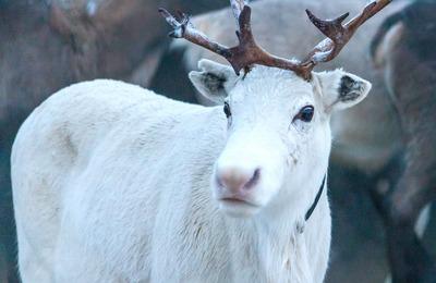 Совет по развитию оленеводства создали в Ненецком АО