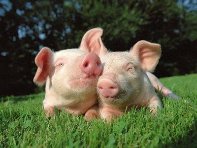 После протеста татар датская компания сократила планы  по убойным свиньям в Пензенской области
