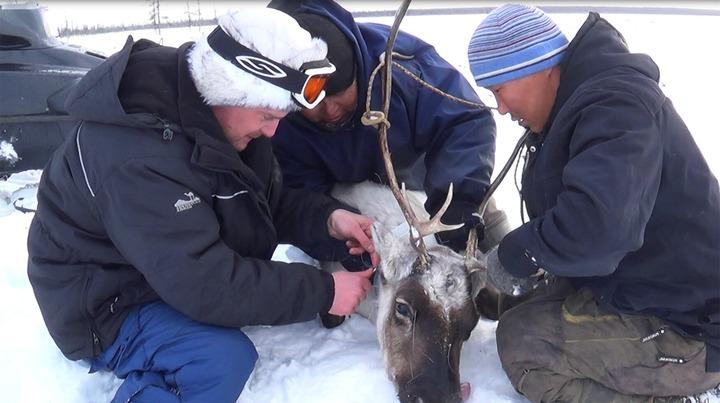Таймырский охотник подстрелил оленя из экопроекта