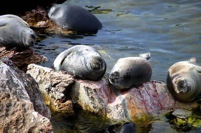 На Сахалине коренным народам предложили возродить морской зверобойный промысел