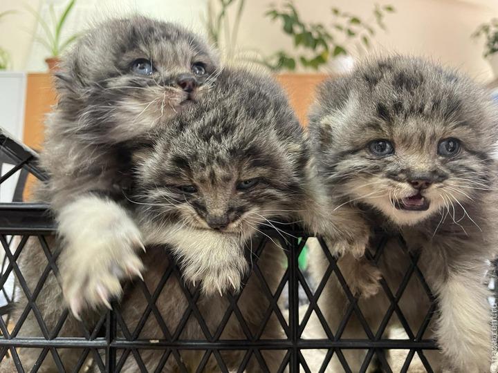 Спасенных котят манула поселили в этномузее народов Забайкалья