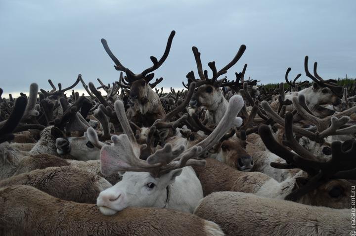 На Камчатке погибли отбившиеся от стада олени
