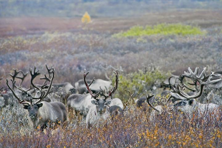 На Ямале возбудили дело о загрязнении оленьих пастбищ