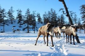 Гонки на оленях прошли на слете оленеводов в Магаданской области